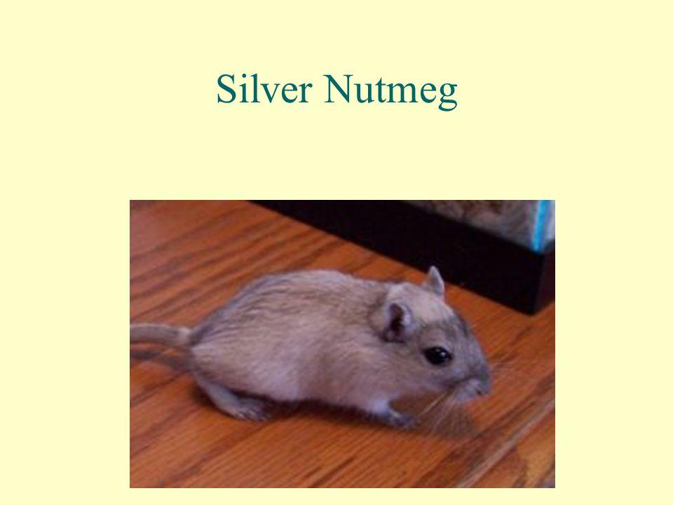 Silver Nutmeg