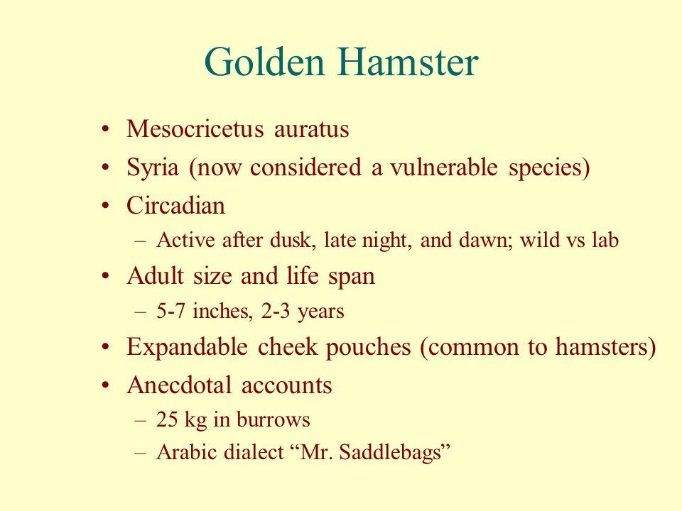 Golden Hamster Mesocricetus auratus