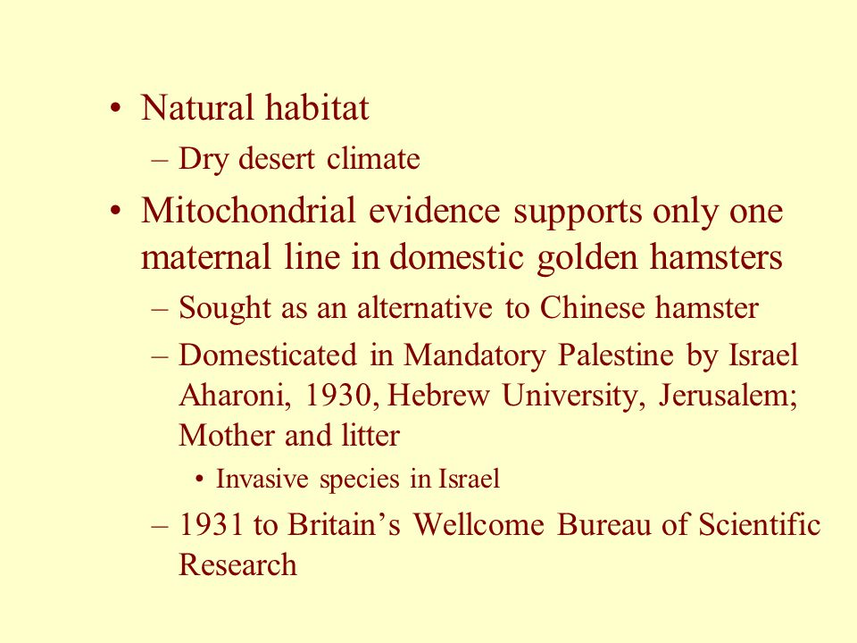Natural habitat Dry desert climate. Mitochondrial evidence supports only one maternal line in domestic golden hamsters.