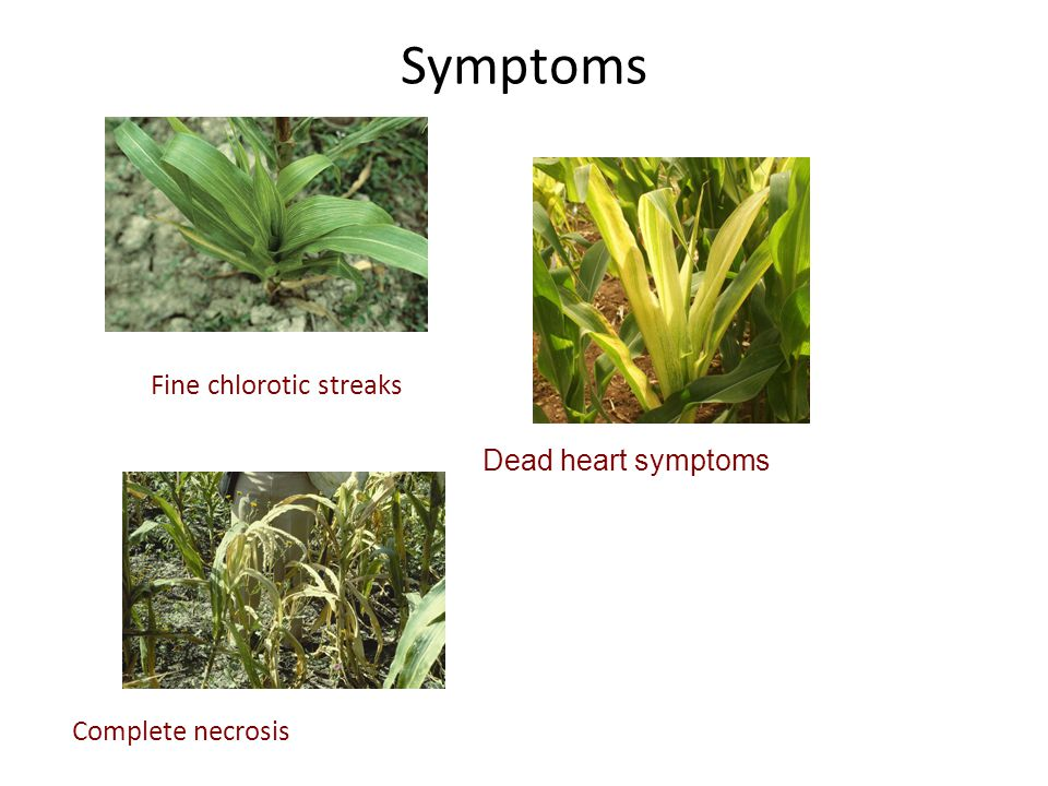 Symptoms Fine chlorotic streaks Dead heart symptoms Complete necrosis