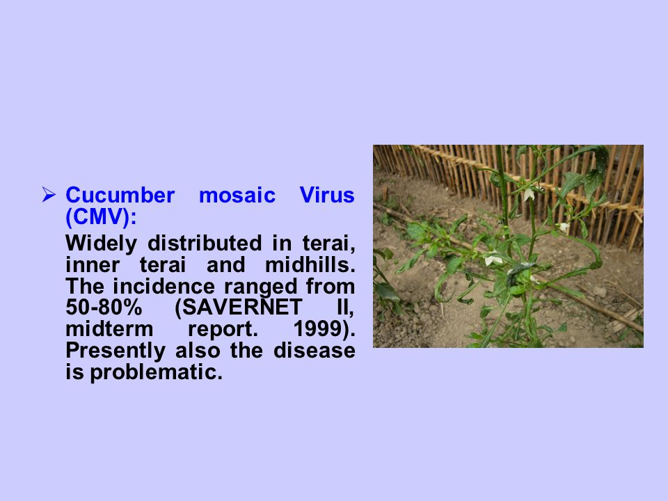 Cucumber mosaic Virus (CMV):