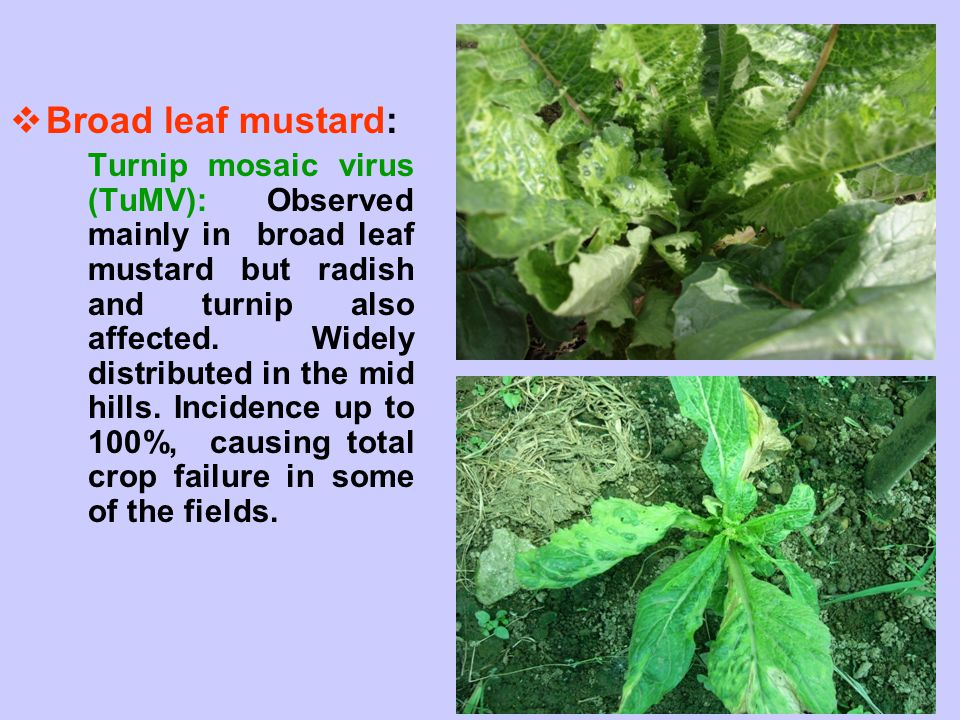 Broad leaf mustard: