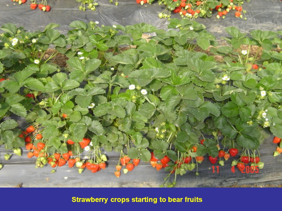 Strawberry crops starting to bear fruits