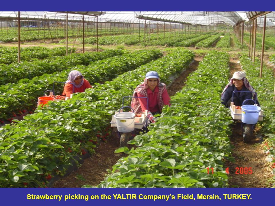 Strawberry picking on the YALTIR Company's Field, Mersin, TURKEY.