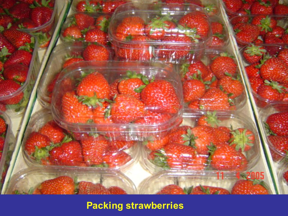 Packing strawberries