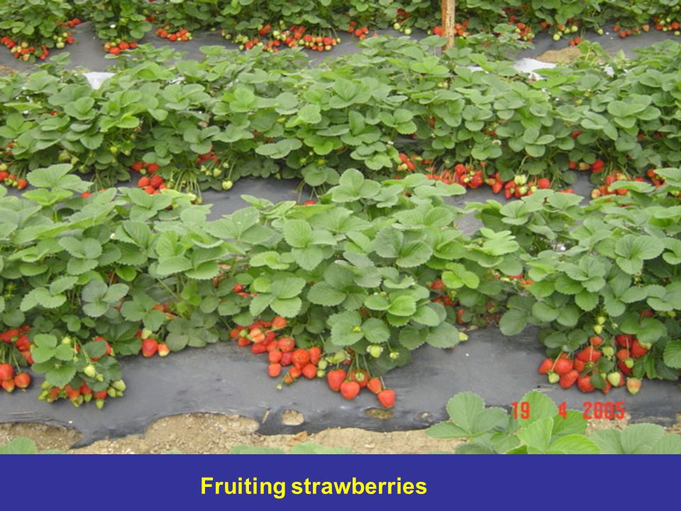 Fruiting strawberries