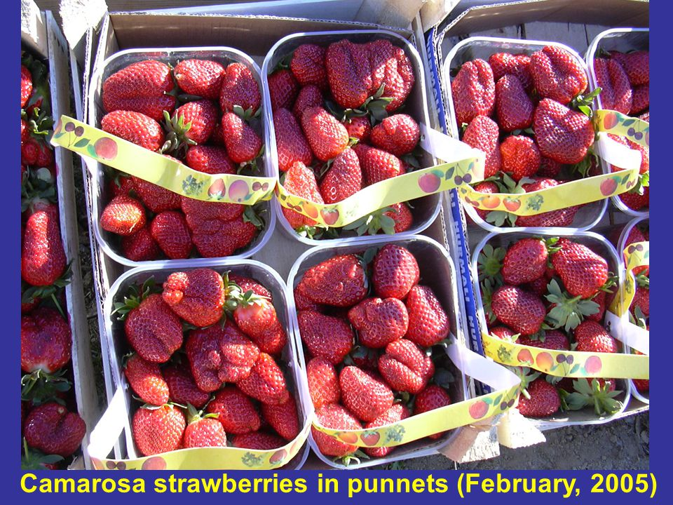 Camarosa strawberries in punnets (February, 2005)