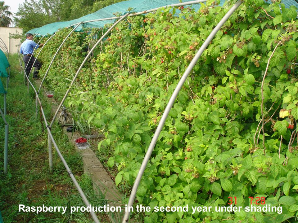 Raspberry production in the second year under shading