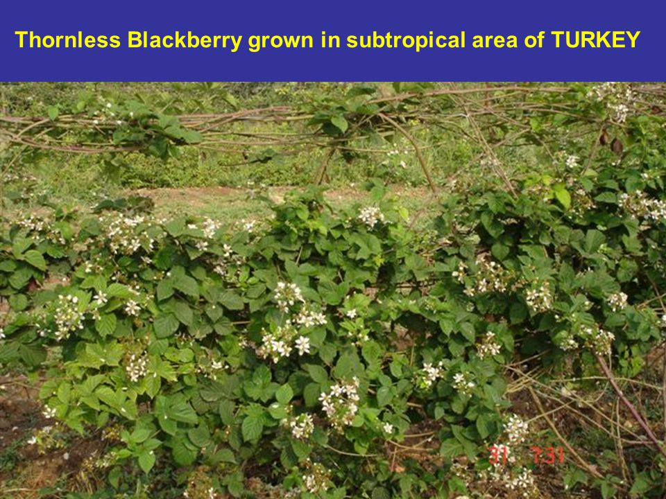 Thornless Blackberry grown in subtropical area of TURKEY