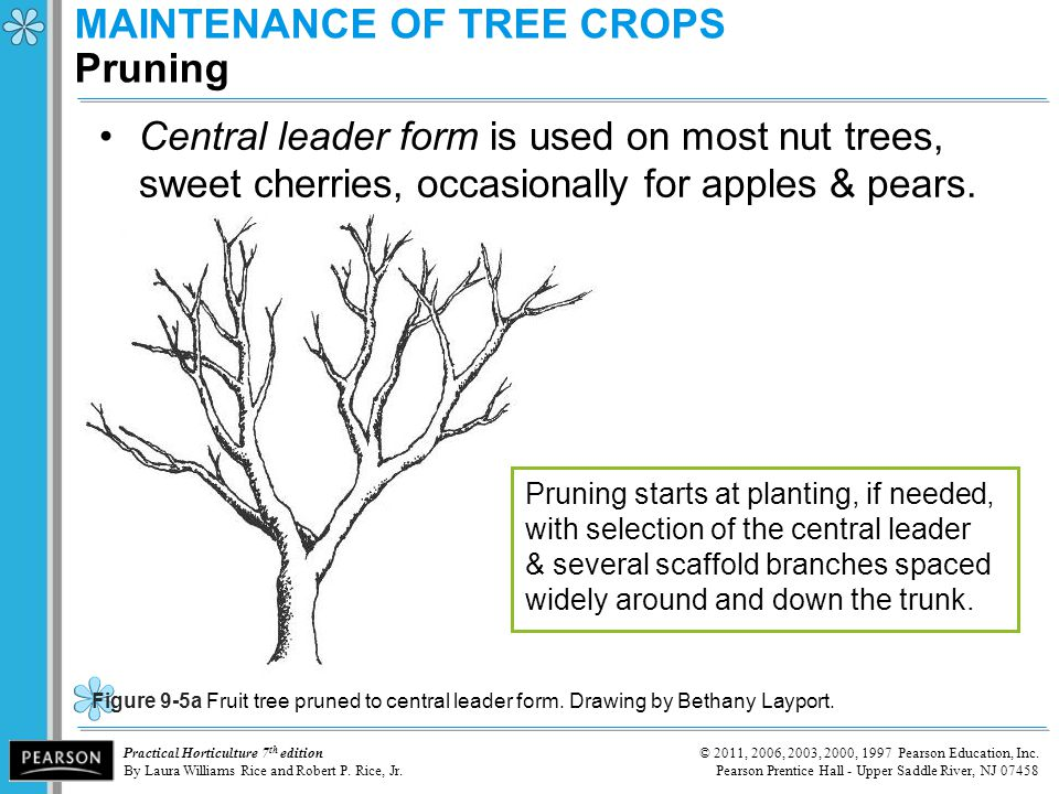 MAINTENANCE OF TREE CROPS Pruning