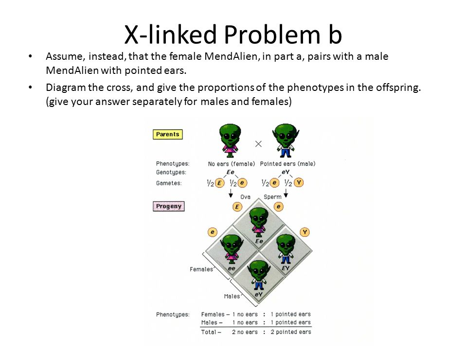 X-linked Problem b Assume, instead, that the female MendAlien, in part a, pairs with a male MendAlien with pointed ears.