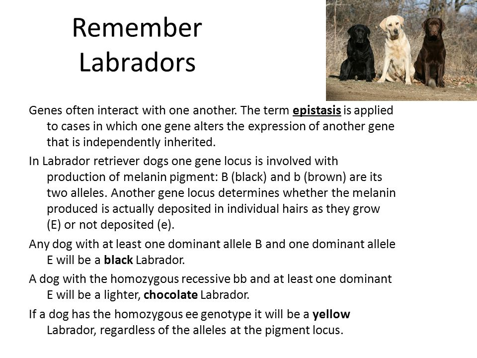 Remember Labradors