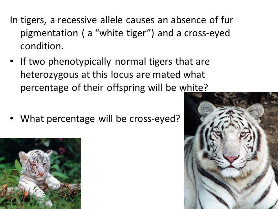 In tigers, a recessive allele causes an absence of fur pigmentation ( a white tiger ) and a cross-eyed condition.