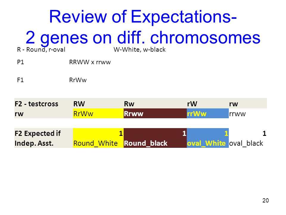 Review of Expectations- 2 genes on diff. chromosomes