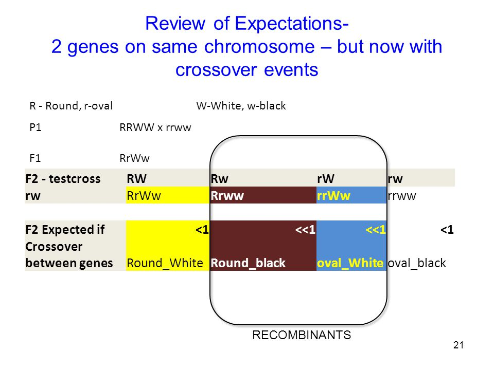 Review of Expectations- 2 genes on same chromosome – but now with crossover events