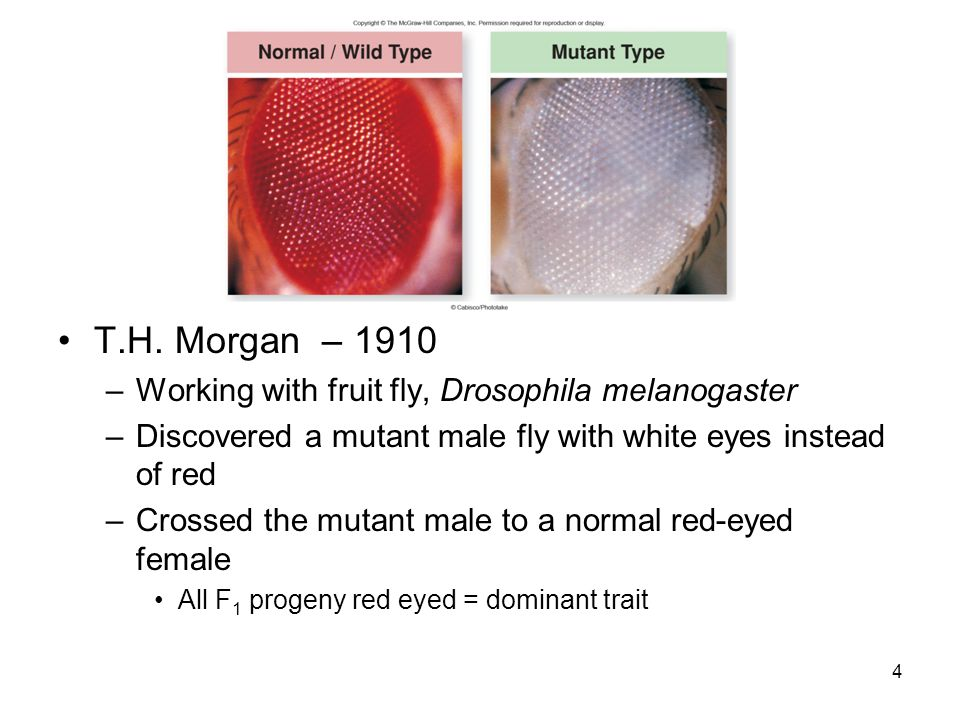 T.H. Morgan – 1910 Working with fruit fly, Drosophila melanogaster