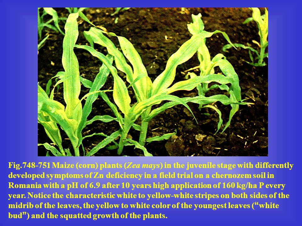 Fig.748-751 Maize (corn) plants (Zea mays) in the juvenile stage with differently developed symptoms of Zn deficiency in a field trial on a chernozem soil in Romania with a pH of 6.9 after 10 years high application of 160 kg/ha P every year.