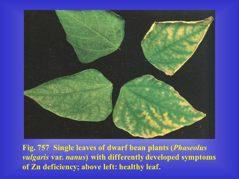 Fig. 757 Single leaves of dwarf bean plants (Phaseolus vulgaris var