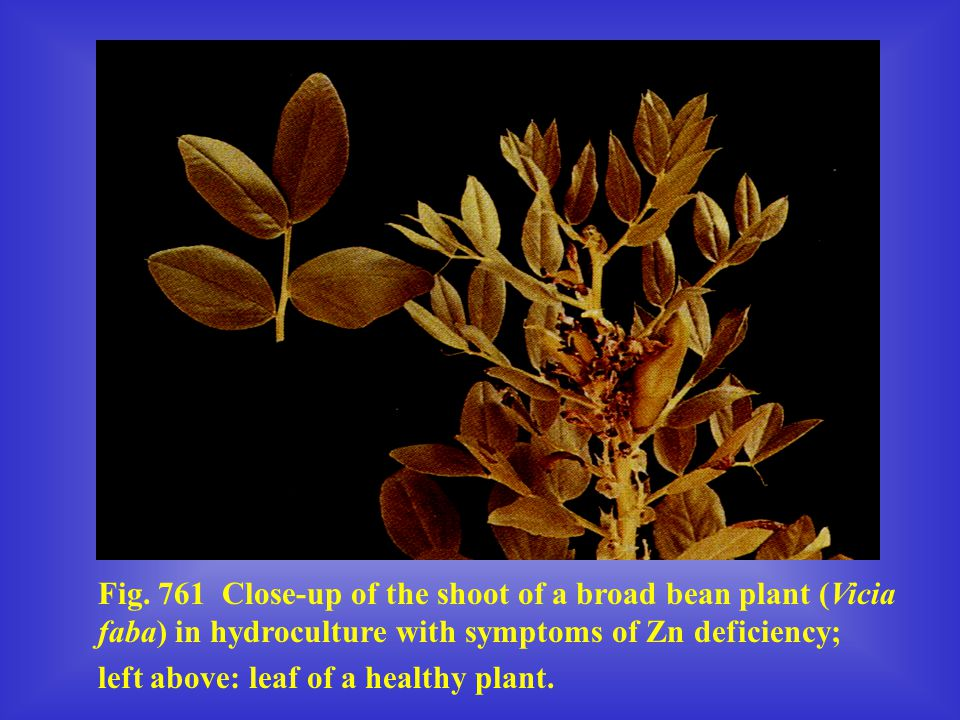 Fig. 761 Close-up of the shoot of a broad bean plant (Vicia faba) in hydroculture with symptoms of Zn deficiency;