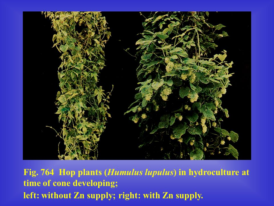 Fig. 764 Hop plants (Humulus lupulus) in hydroculture at time of cone developing;