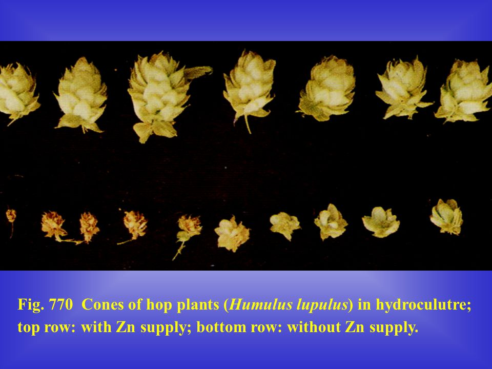 Fig. 770 Cones of hop plants (Humulus lupulus) in hydroculutre;