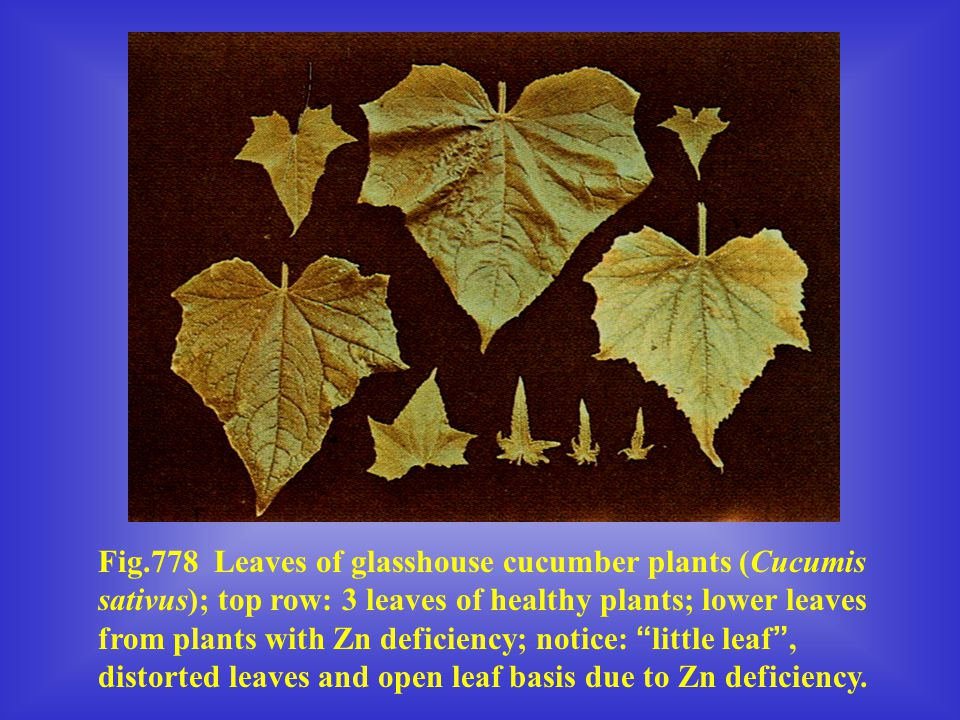 Fig.778 Leaves of glasshouse cucumber plants (Cucumis sativus); top row: 3 leaves of healthy plants; lower leaves from plants with Zn deficiency; notice: little leaf , distorted leaves and open leaf basis due to Zn deficiency.