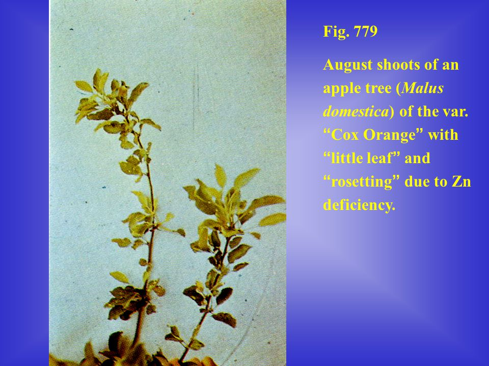 Fig. 779 August shoots of an apple tree (Malus domestica) of the var.