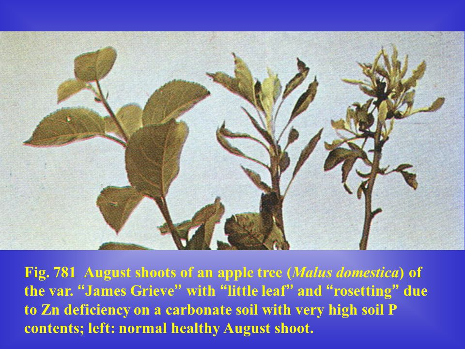 Fig. 781 August shoots of an apple tree (Malus domestica) of the var