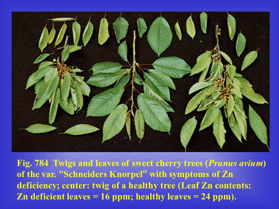 Fig. 784 Twigs and leaves of sweet cherry trees (Prunus avium) of the var.
