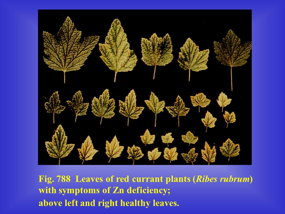 Fig. 788 Leaves of red currant plants (Ribes rubrum) with symptoms of Zn deficiency;