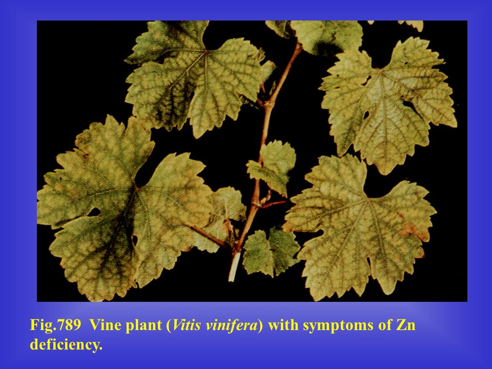 Fig.789 Vine plant (Vitis vinifera) with symptoms of Zn deficiency.