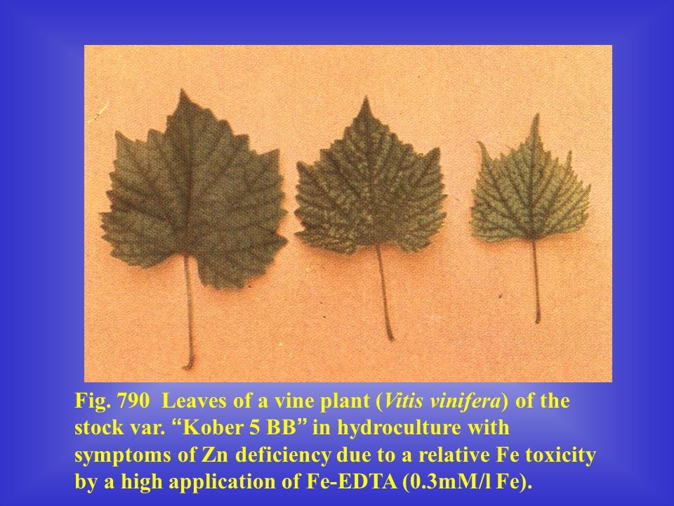 Fig. 790 Leaves of a vine plant (Vitis vinifera) of the stock var