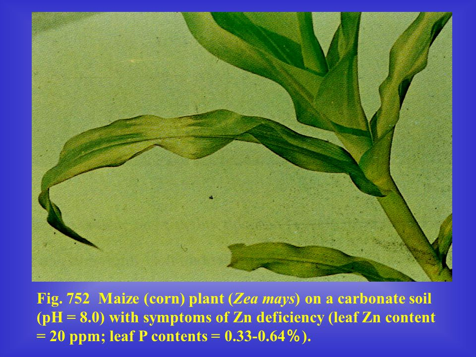 Fig. 752 Maize (corn) plant (Zea mays) on a carbonate soil (pH = 8