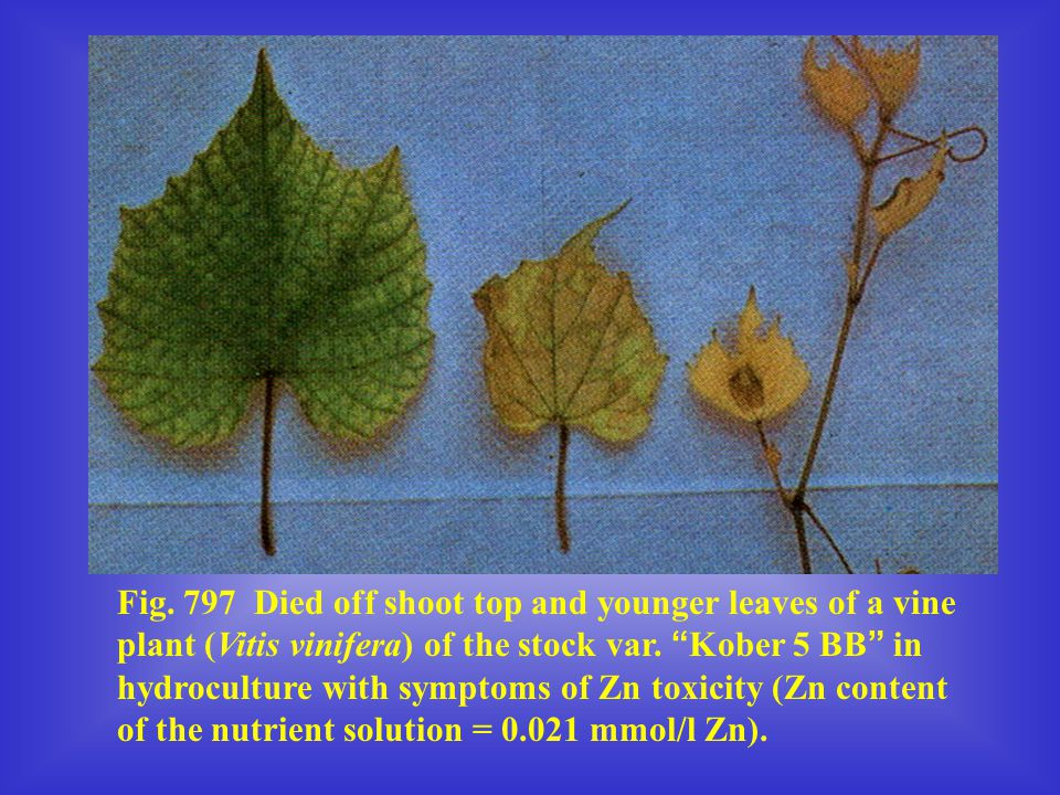 Fig. 797 Died off shoot top and younger leaves of a vine plant (Vitis vinifera) of the stock var.