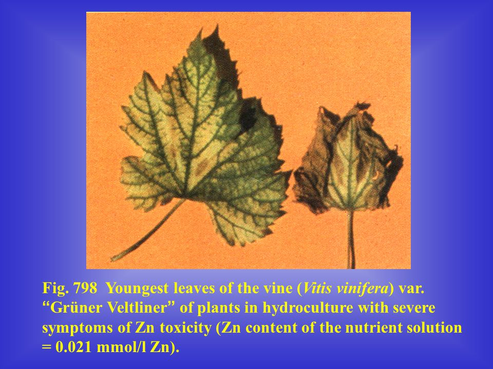 Fig. 798 Youngest leaves of the vine (Vitis vinifera) var