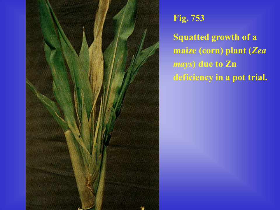 Fig. 753 Squatted growth of a maize (corn) plant (Zea mays) due to Zn deficiency in a pot trial.