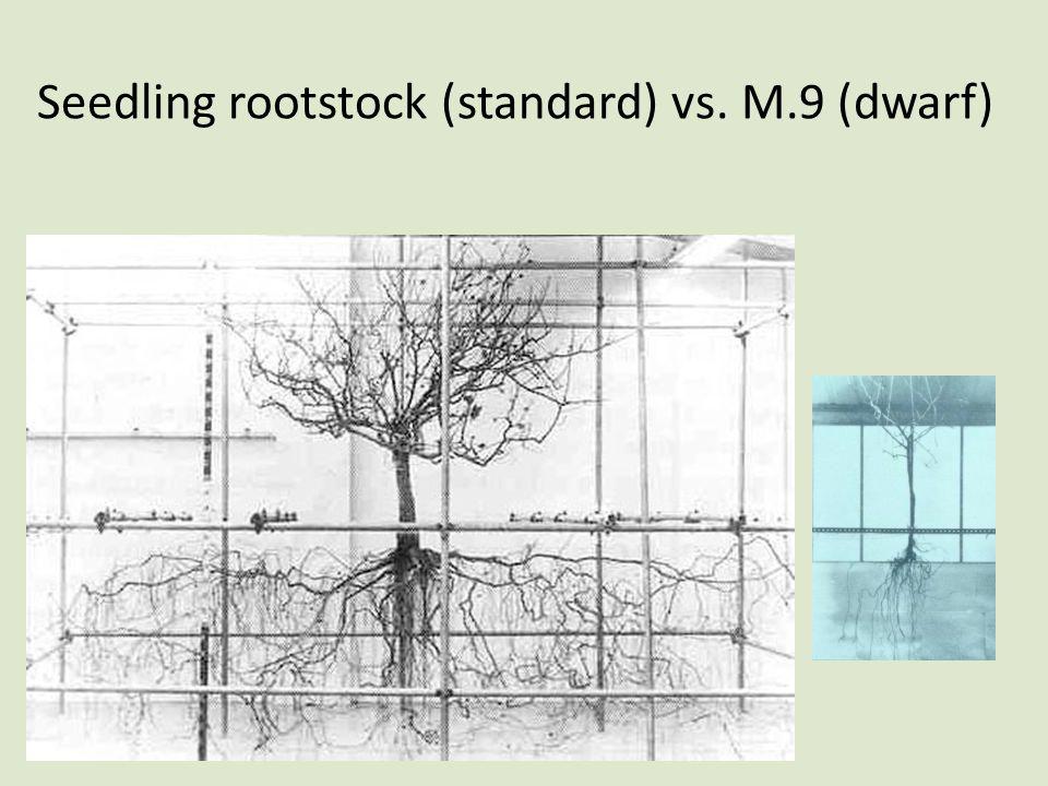 Seedling rootstock (standard) vs. M.9 (dwarf)