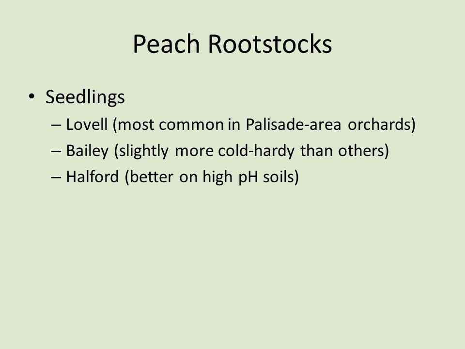 Peach Rootstocks Seedlings