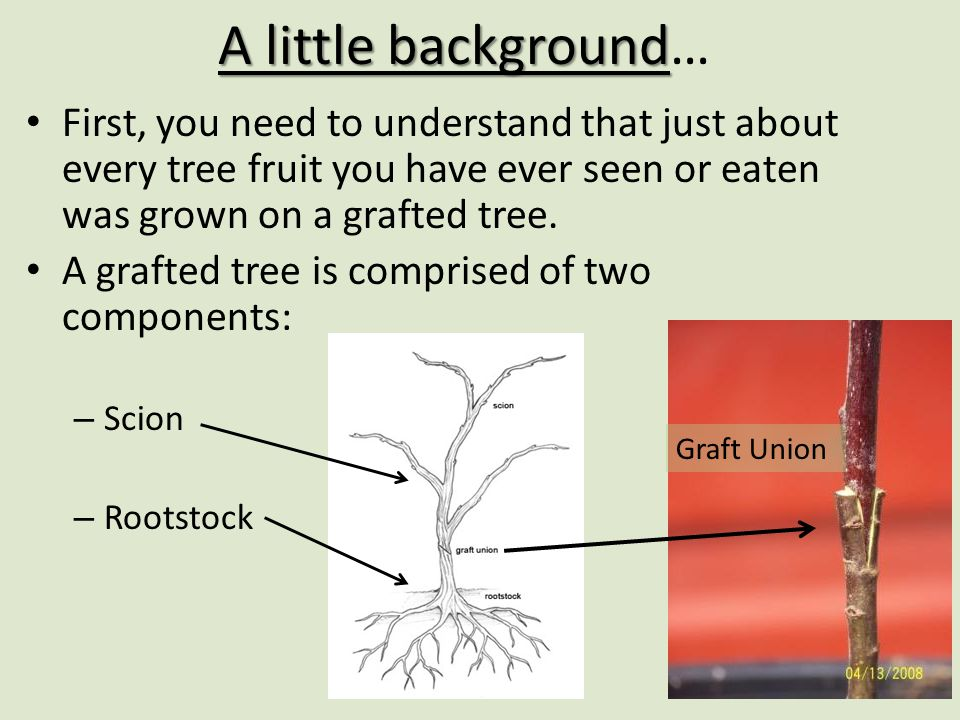 A little background… First, you need to understand that just about every tree fruit you have ever seen or eaten was grown on a grafted tree.