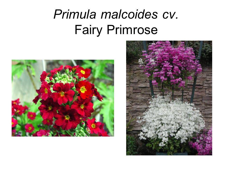 Primula malcoides cv. Fairy Primrose