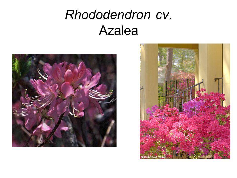 Rhododendron cv. Azalea