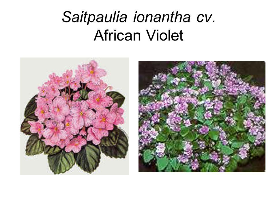Saitpaulia ionantha cv. African Violet