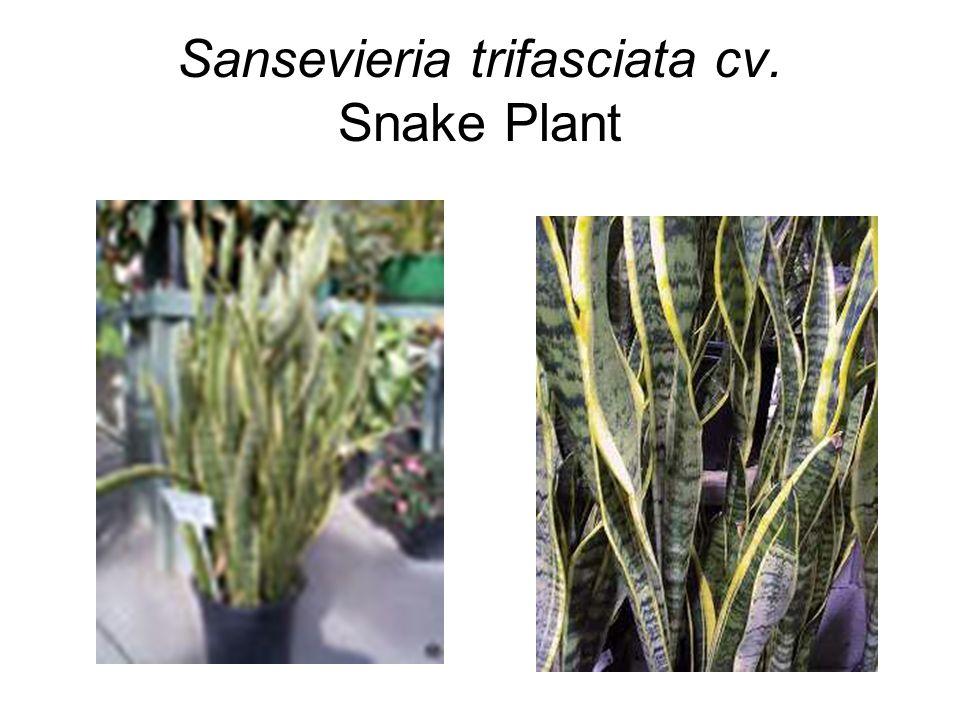 Sansevieria trifasciata cv. Snake Plant