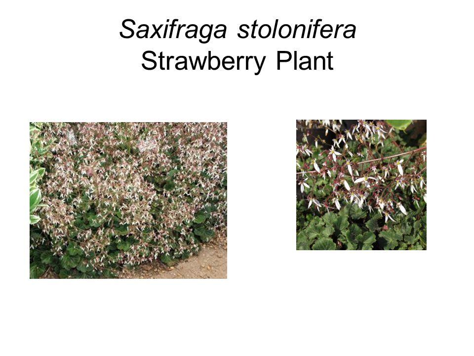 Saxifraga stolonifera Strawberry Plant
