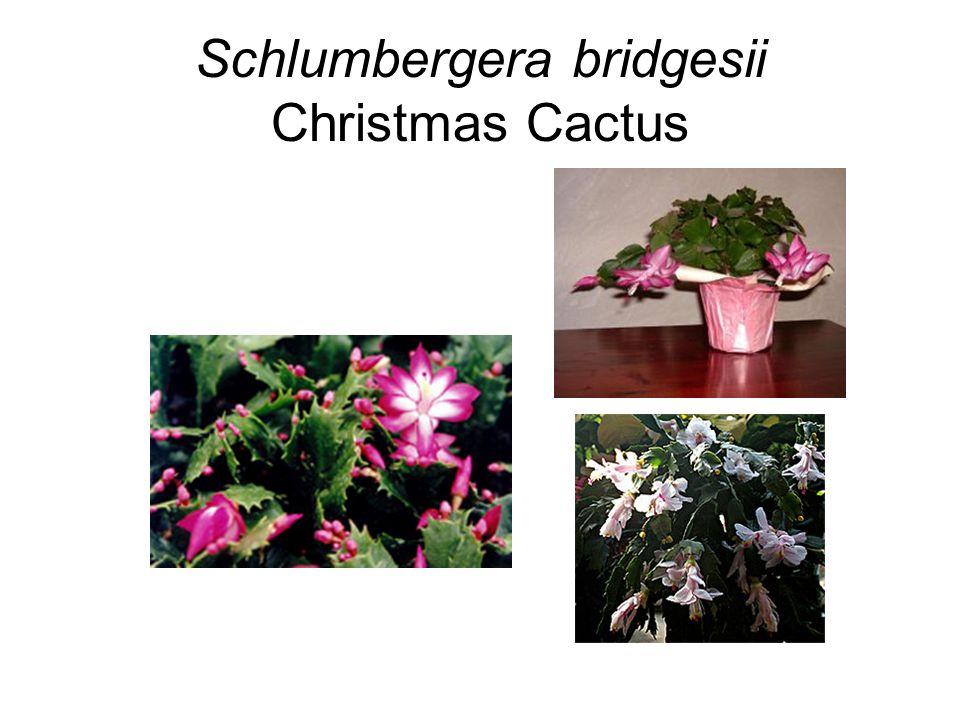 Schlumbergera bridgesii Christmas Cactus