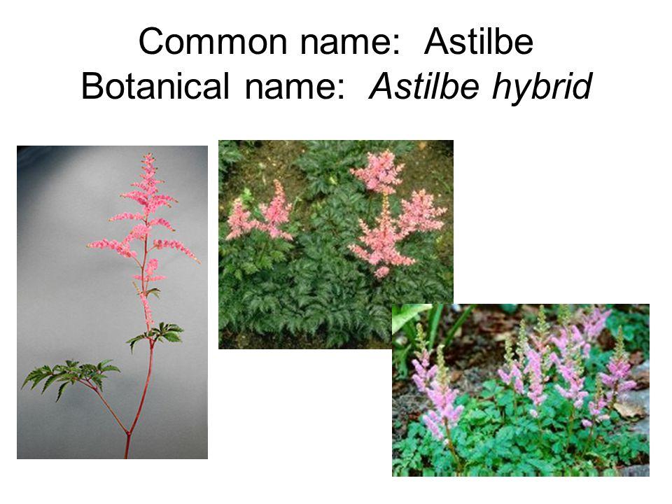 Common name: Astilbe Botanical name: Astilbe hybrid