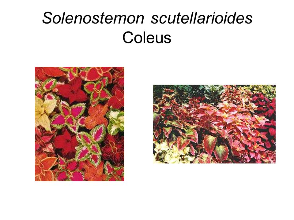 Solenostemon scutellarioides Coleus