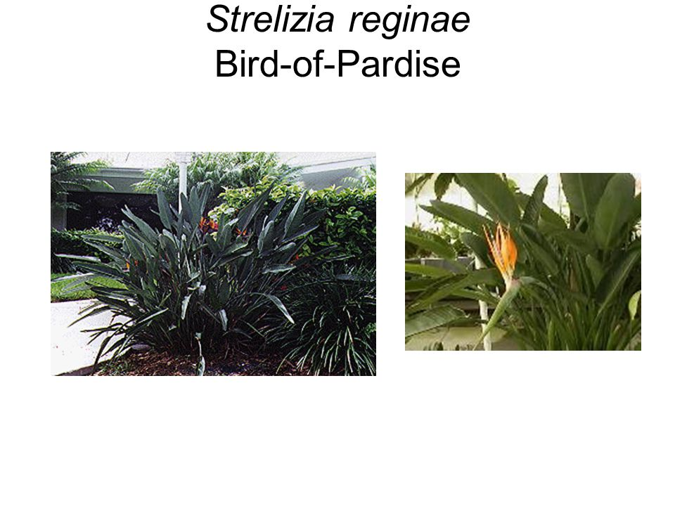 Strelizia reginae Bird-of-Pardise