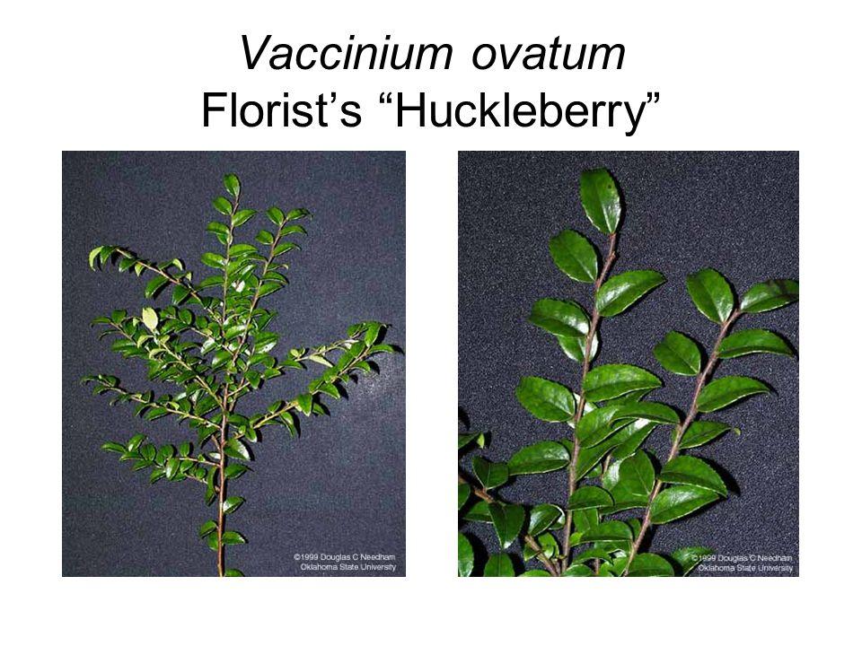 Vaccinium ovatum Florist's Huckleberry