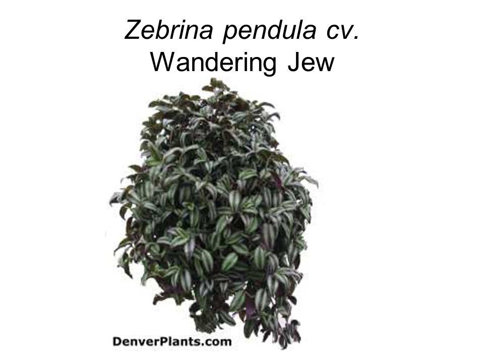 Zebrina pendula cv. Wandering Jew
